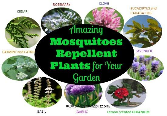 10 amazing mosquito repellent plants. Black Bedroom Furniture Sets. Home Design Ideas