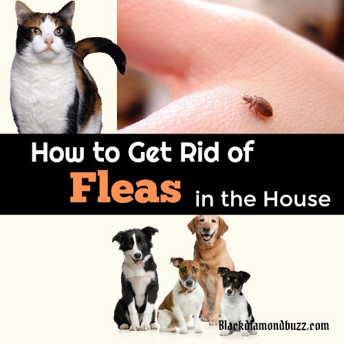 How To Get Rid Of Fleas In The House How To Get Rid Of Fleas Fast In The Home On Dogs And Cats
